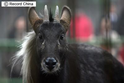 神獣とよばれるスマトラカモシカ江西省で見つかる