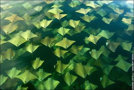 ゴールデン・レイと呼ばれるエイの大群の大移動