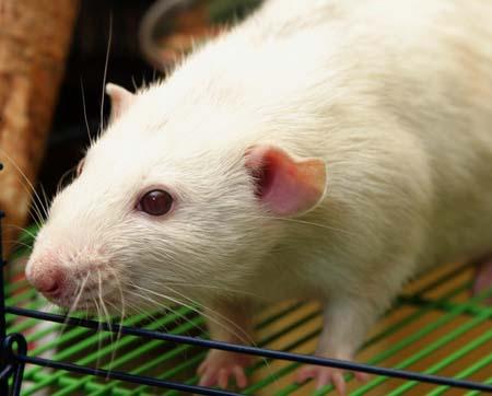 ウルグアイで1トンの巨大ネズミの化石見つかる