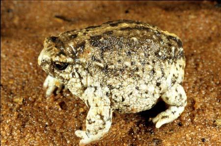 500万年に棲息してたとされるカエルを発見