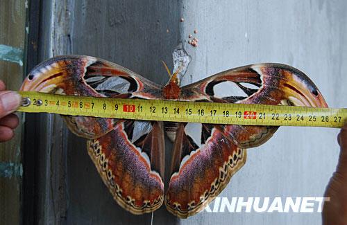 中国で発見された巨大な蛾