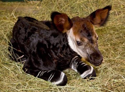 世界三大珍獣のオカピの赤ちゃん