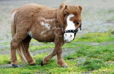 オーストラリア1小さい馬KODA君