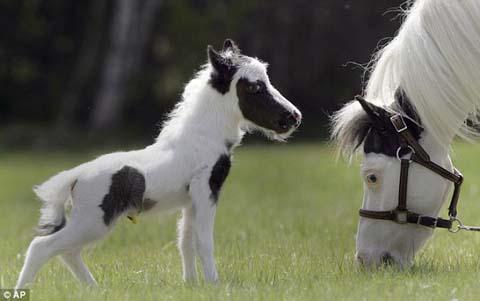 ニューハンプシャー州で生まれた世界小さな子馬