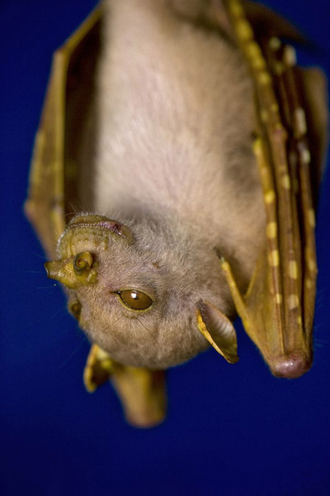 ニューギニアで発見された新種生物:その2「テングフルーツコウモリ」の新種