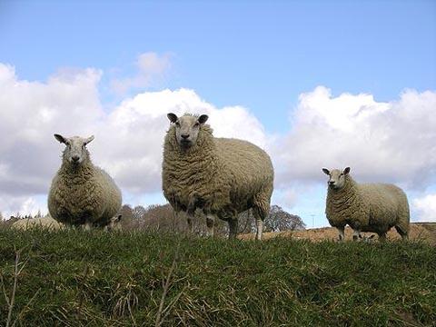 トルコで羊が崖から次々と自殺する怪現象が起こる