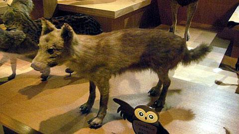 クローン技術で絶滅したニホンオオカミを復活へ