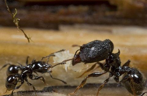 ニューギニアで発見された新種生物:その6「オオズアリ」
