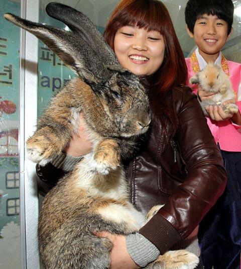 体長1メートル12キログラムの巨大ウサギ