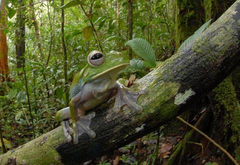 ニューギニアで発見された新種生物:その3「巨大カエル」