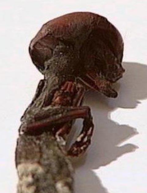 メキシコで身長12センチの人間の骨が見つかる