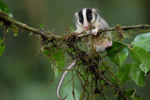 ニューギニアで発見された新種生物:その4「ニセフクロモモンガ」の一種