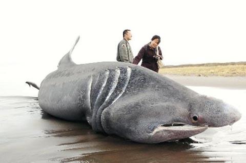 8メートル超の巨大ウバザメの死骸北海道に漂着