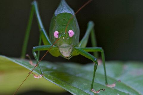 ニューギニアで発見された新種生物:その1「コノハギス」