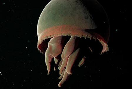 日本海溝で発見された新種の「ユビアシクラゲ」
