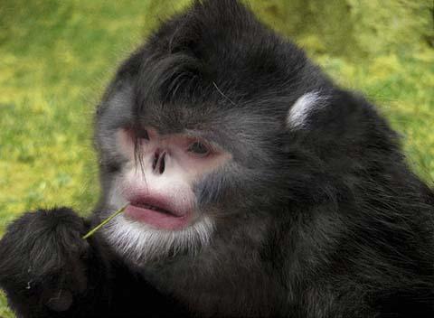 ミャンマーで発見された鼻が上を向いた新種のサル