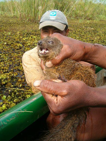 24年ぶりにマダガスカルで発見された新種の肉食哺乳類「ダレルズ・ボンツィラ」