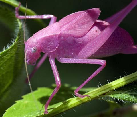 ピンク色をしたキリギリス