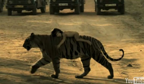 大きなトラに抱きつき移動する裸の子ども